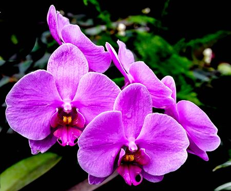 An isolated stem of purple orchid blossoms