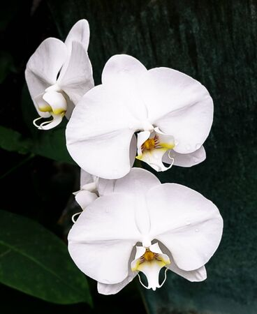 An isolated stem of white orchid blossoms