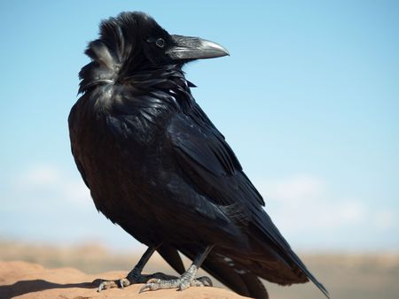 backward: Raven Looking Backward, Utah    Stock Photo