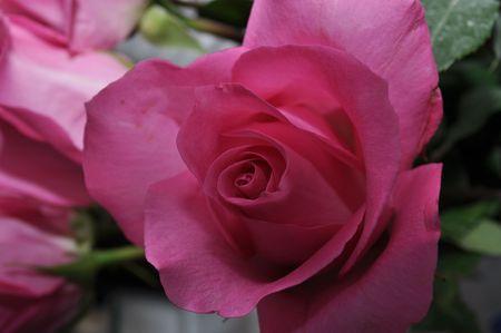 Roses Archivio Fotografico