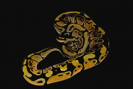 herpetology: Curled Up Ball Python Illustration