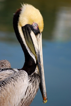 aves: Adult Brown Pelican Profile Stock Photo