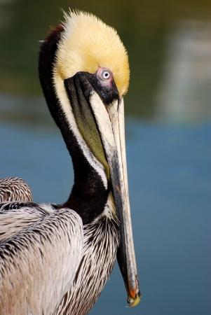 Adult Brown Pelican Profile Banco de Imagens