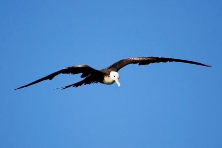 Frigatebird Against a Blue Sky Banco de Imagens