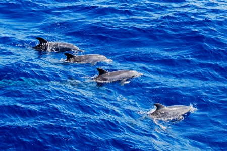 spotted: Altantic Spotted Dolphin Pod