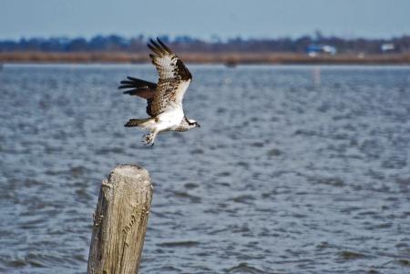 osprey: Osprey in Mid-flight
