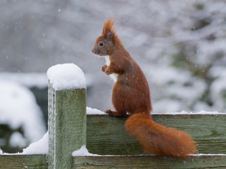 frontyard: Red squirrel sitting on green fence while it s snowing