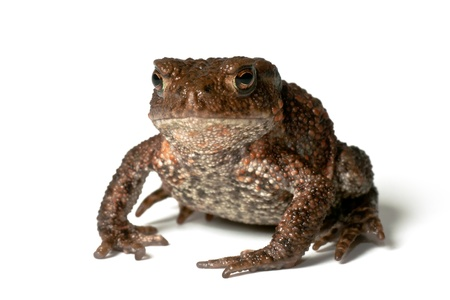 Small common toad, bufo bufo, on white background facing the photographer photo