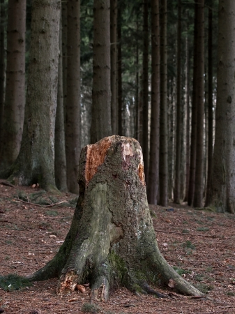 Old tree stump in the spruce forest photo
