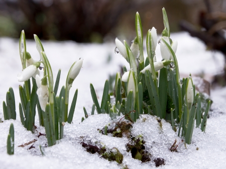 Close up of snowdrops in snow photo
