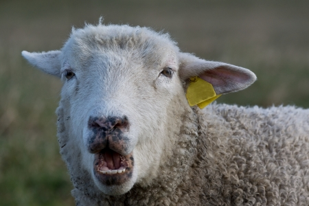 Close up front view of a sheep with wide open mouth
