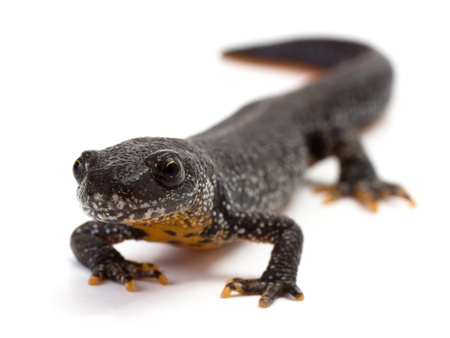 Front view of a Great Crested Newt on a white background