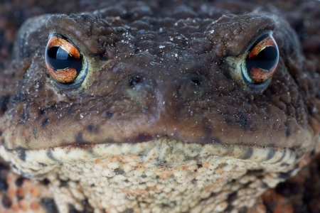 Close up photo of a common european toad face photo