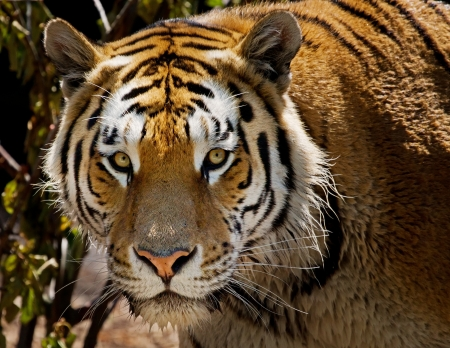 Close up photo of tiger in a Zoo Stock Photo