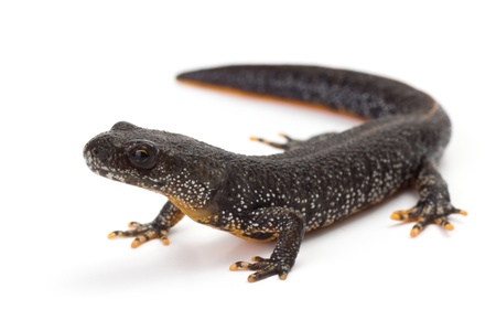 Great Crested Newt with its head lifted photo