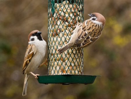 Close up photo of two eurasian tree sparrows on a feeder with peanuts photo