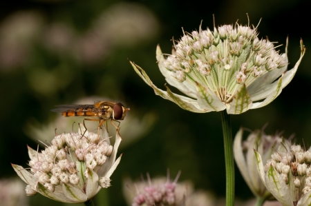 hover: Hover fly in Astrantia flower Stock Photo