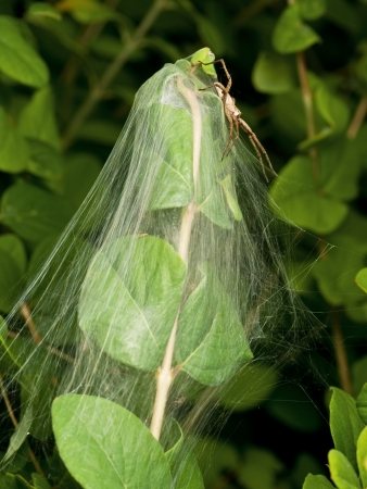 nursery web spider: Nursery spider sitting on top of the web - The Nursery, where it keeps its offspring