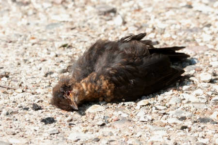 Dead european blackbird lying on a road in sun light photo