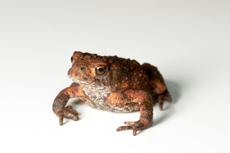 warts: Colourful Toad sitting on a white background