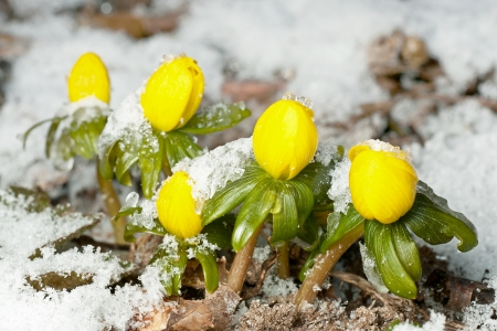 Closeup of winter aconite in a row with snow photo