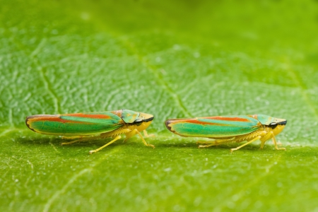 believed: Two rhododendron leaf hoppers  Are believed to spread rhododendron fungus