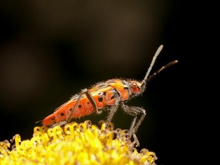 compound eye: Adult Corizus hyoscyami on yellow flower