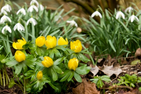 Small group of winter aconite with two groups of snowdrop in the background photo