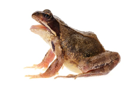 Common european frog, Rana temporaria, seen in profile with open mouth, as if it is croaking, speaking or singing  I