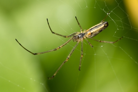 orb weaver: Macro photo of an orb weaver spider in it s web Stock Photo