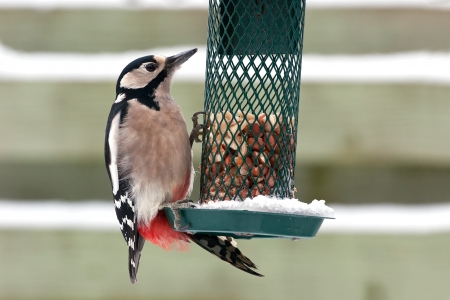 Hungry Great Spotted Woodpecker trying to get peanuts