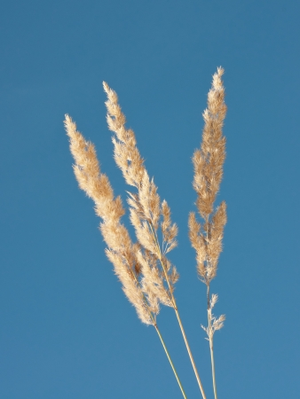 syn: Ripe Wood Small-reed grass ears under a blue sky Stock Photo