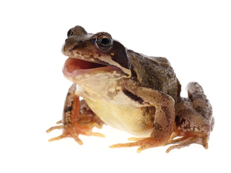 croaking: Common european frog, Rana temporaria, with open mouth, as if it is croaking, speaking or singing. Isolated on white Stock Photo