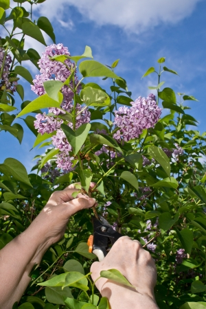 syringa: Woman hands cutting off lilac flowers Stock Photo