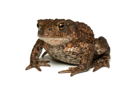 Small common toad, bufo bufo, on white background photo