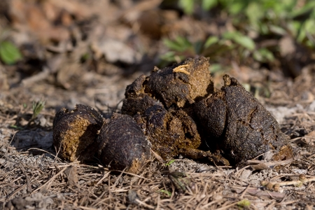Close up of dog poo in nature photo
