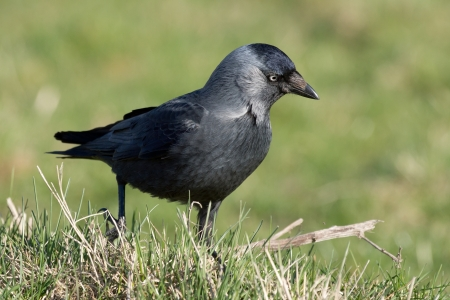 monedula: Side view of a western jackdaw, crow family bird