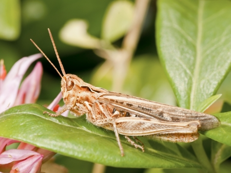 acrididae: Grasshopper of the acrididae family