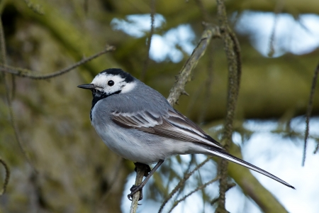 White wagtail sitting on a twig photo