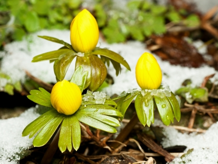 Closeup of winter aconite group with snow