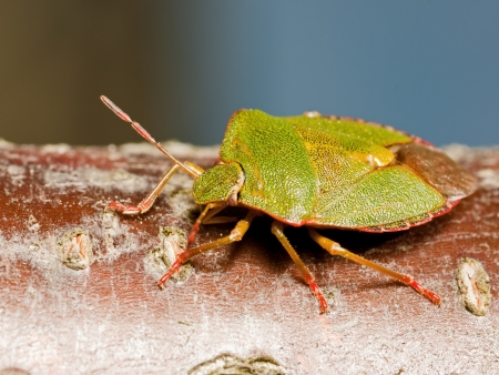 Macro photo of Green shieldbug seen from the back photo