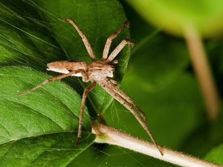 pisauridae: Spider of the family Pisauridae Stock Photo