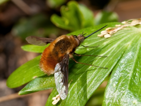 The strange Bee fly on green leaf photo