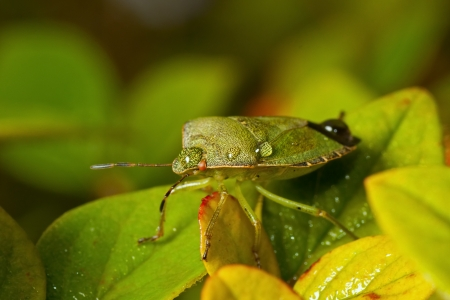 Green shieldbug with rain drops on the back Stock Photo - 19893623