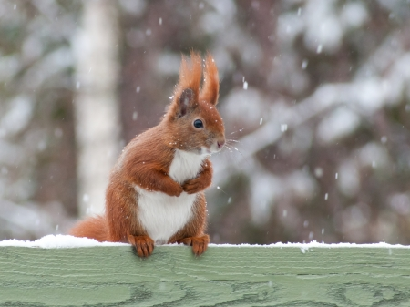 Red squirrel sitting on green fence while it snows photo