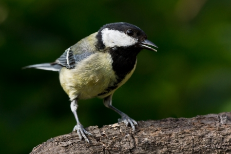 half open: Great tit with half open beak perched on a branch