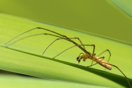 orb weaver: Macro photo of orb weaver spider on a green iris leaf Stock Photo