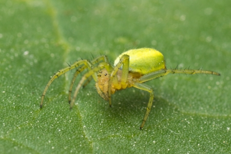 Macro photo of a green orb spider on a rhubarb leaf Stock Photo