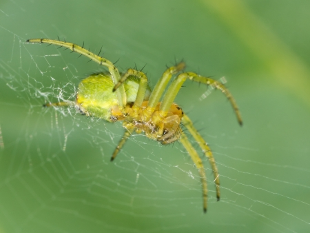 Macro photo of a green orb spider in its web