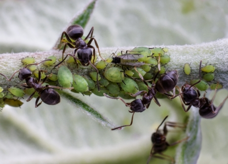 Ants watching over aphids on an apple twig